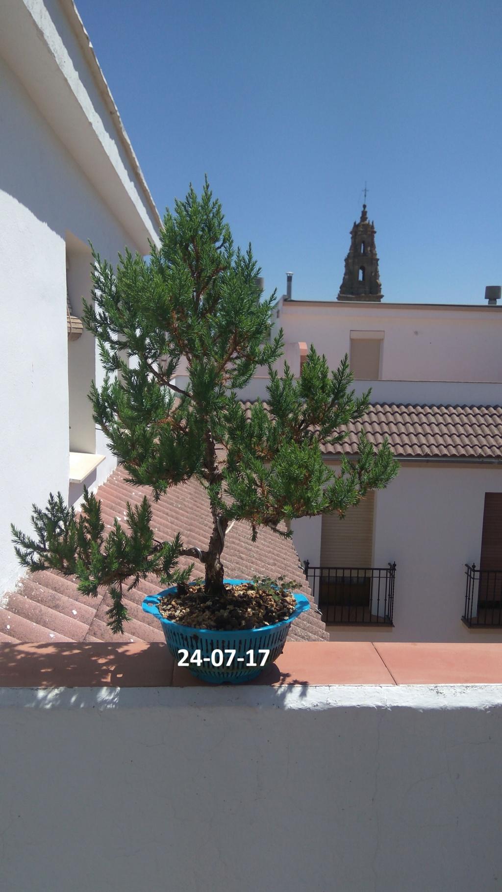 Evoución juniperus stricta en 2 años y medio Img-2011
