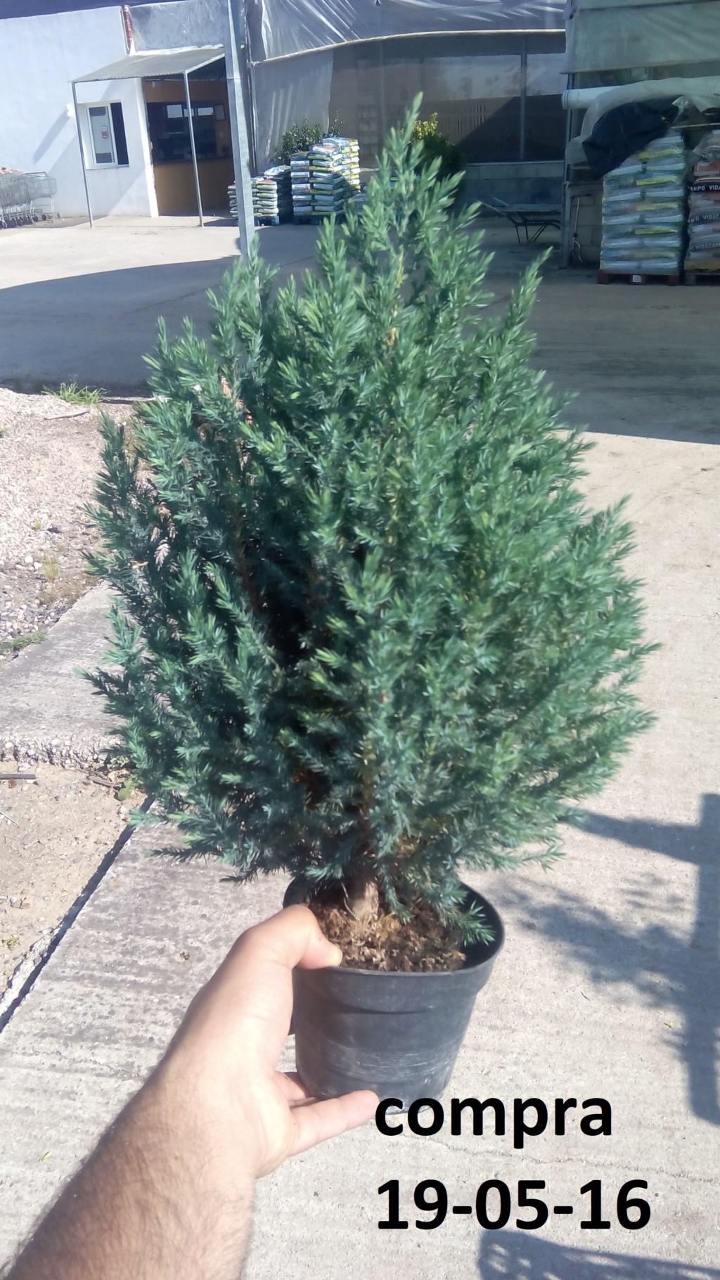 Evoución juniperus stricta en 2 años y medio Img_2013