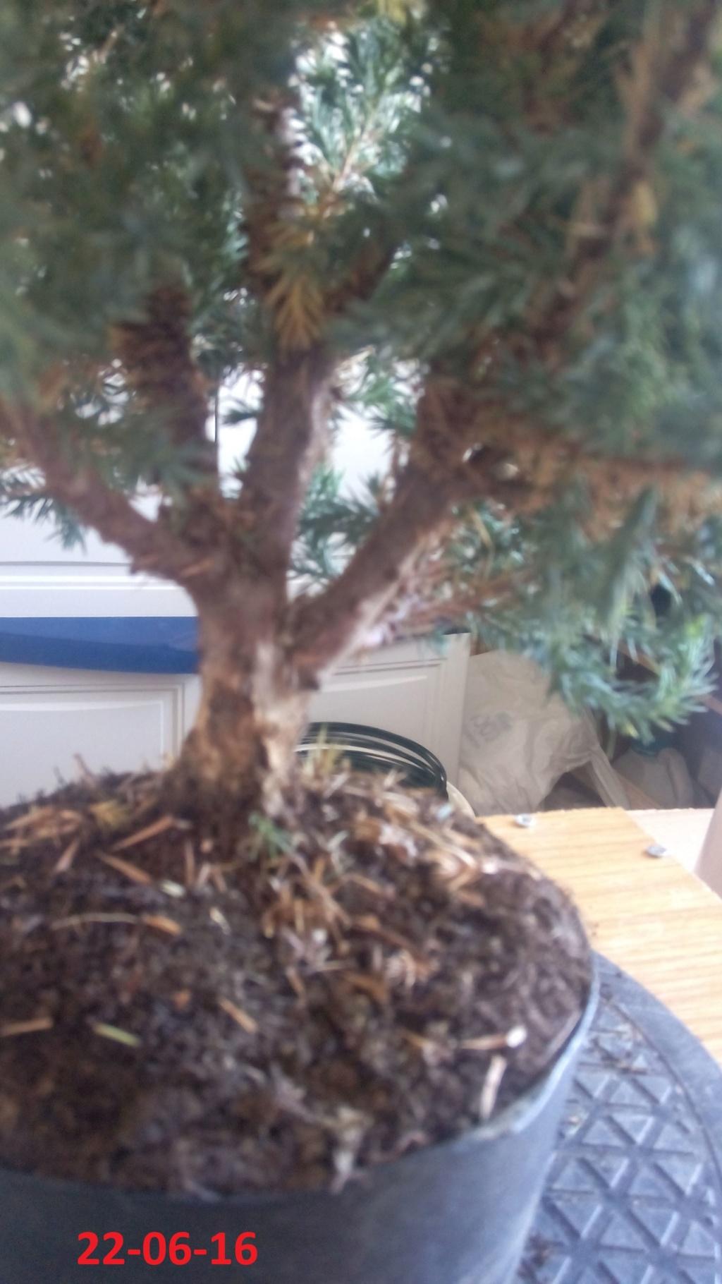 Evoución juniperus stricta en 2 años y medio Img_2014
