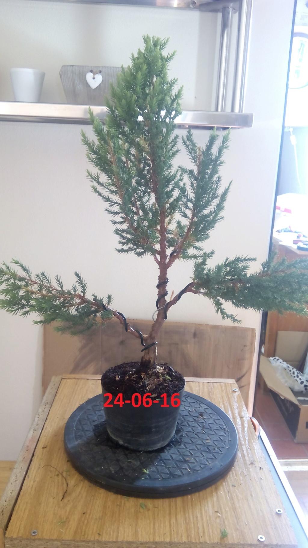 Evoución juniperus stricta en 2 años y medio Img_2015