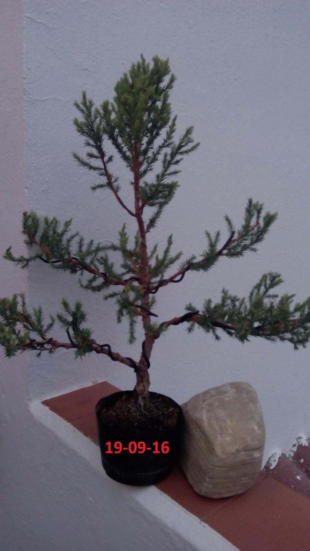 Evoución juniperus stricta en 2 años y medio Img_2016