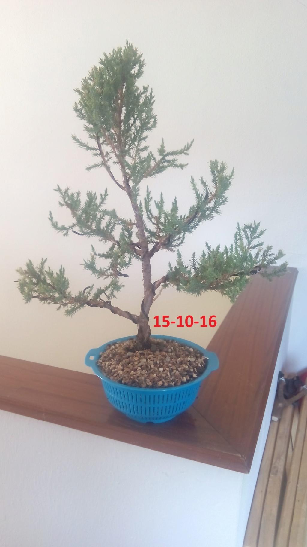 Evoución juniperus stricta en 2 años y medio Img_2017