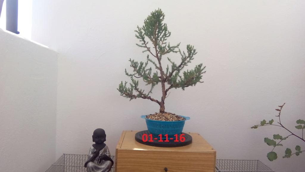 Evoución juniperus stricta en 2 años y medio Img_2018