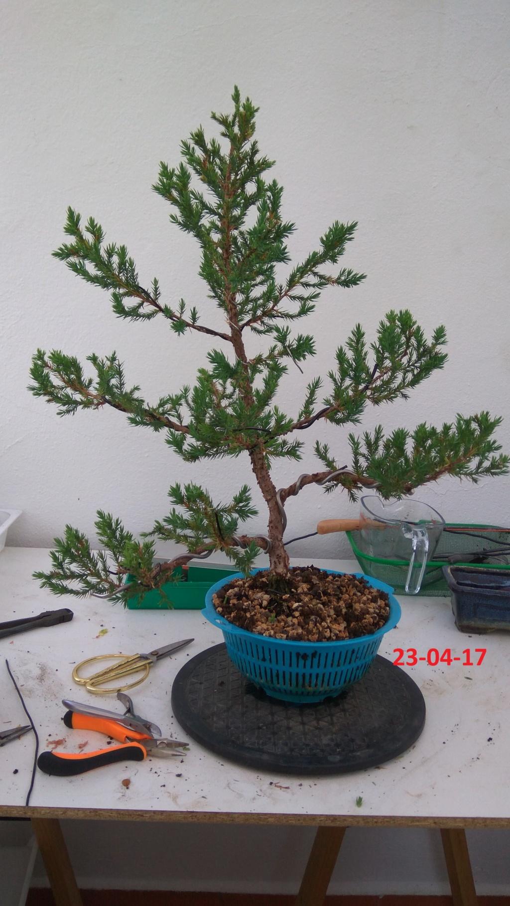 Evoución juniperus stricta en 2 años y medio Img_2019