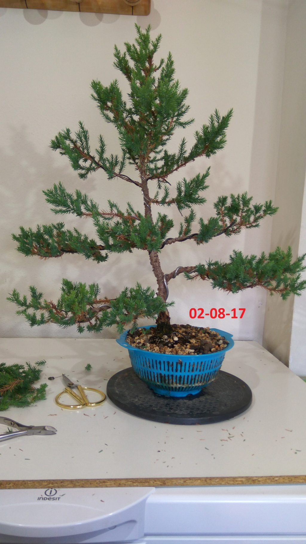 Evoución juniperus stricta en 2 años y medio Img_2020