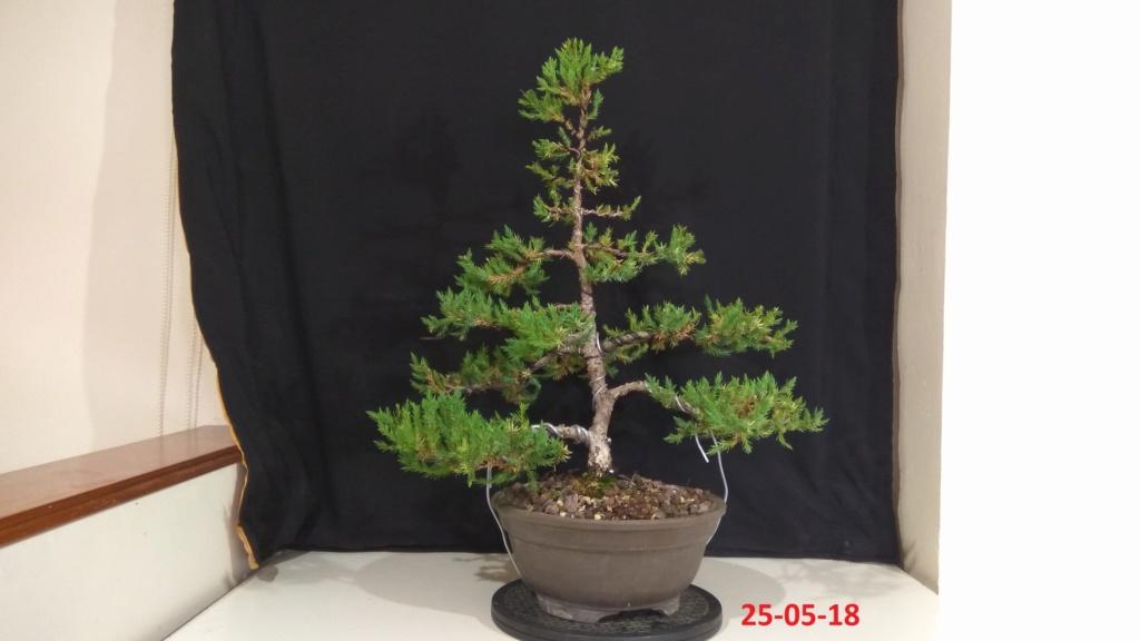 Evoución juniperus stricta en 2 años y medio Img_2023