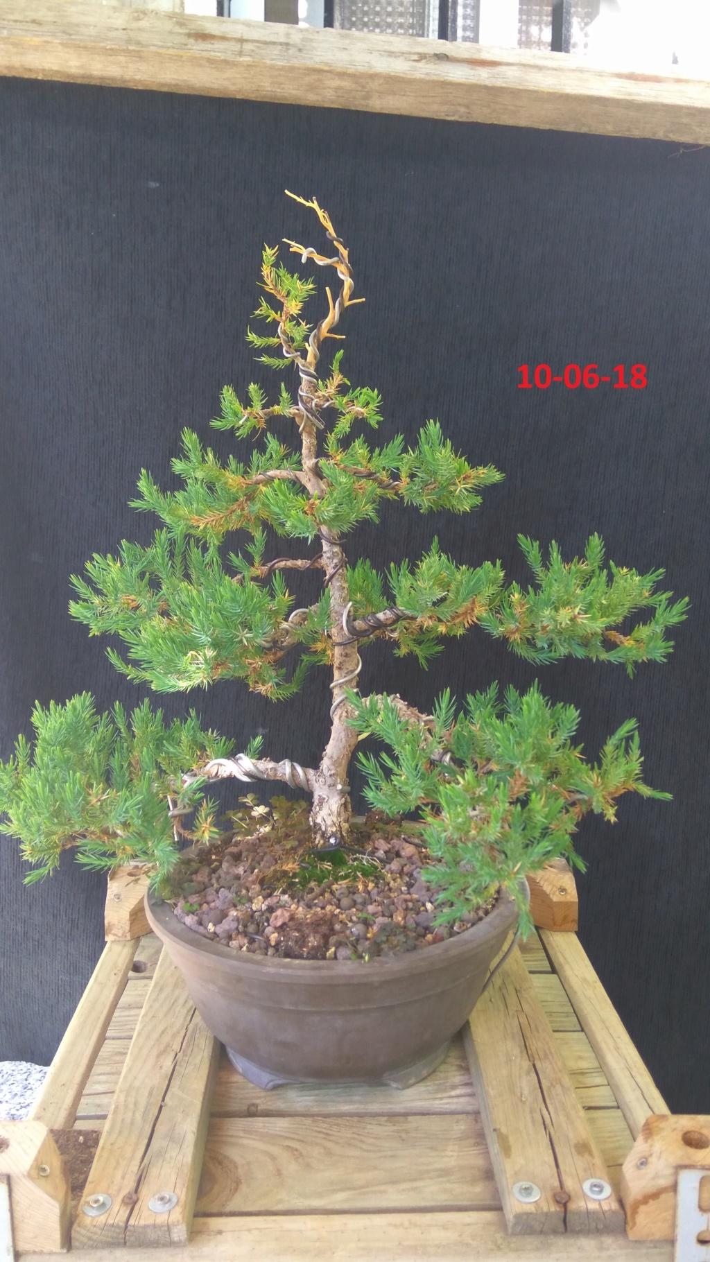 Evoución juniperus stricta en 2 años y medio Img_2024