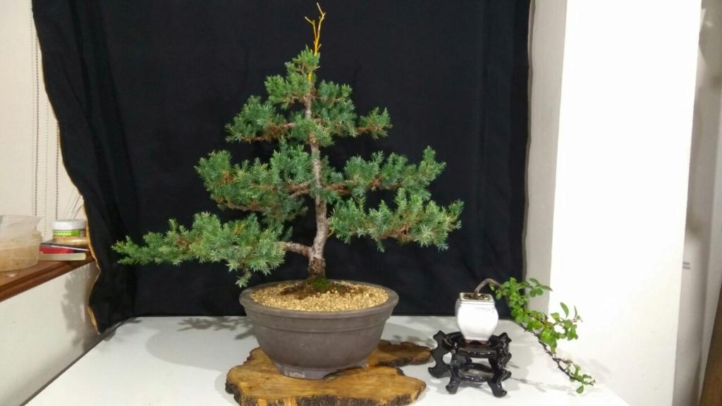 Evoución juniperus stricta en 2 años y medio Whatsa10