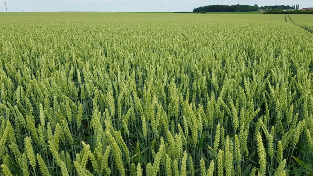Suivi des blés 2020 - Page 20 20200615