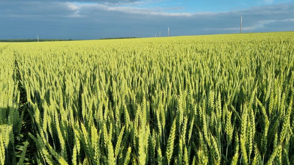 suivi blé 2021 - Page 5 20210620