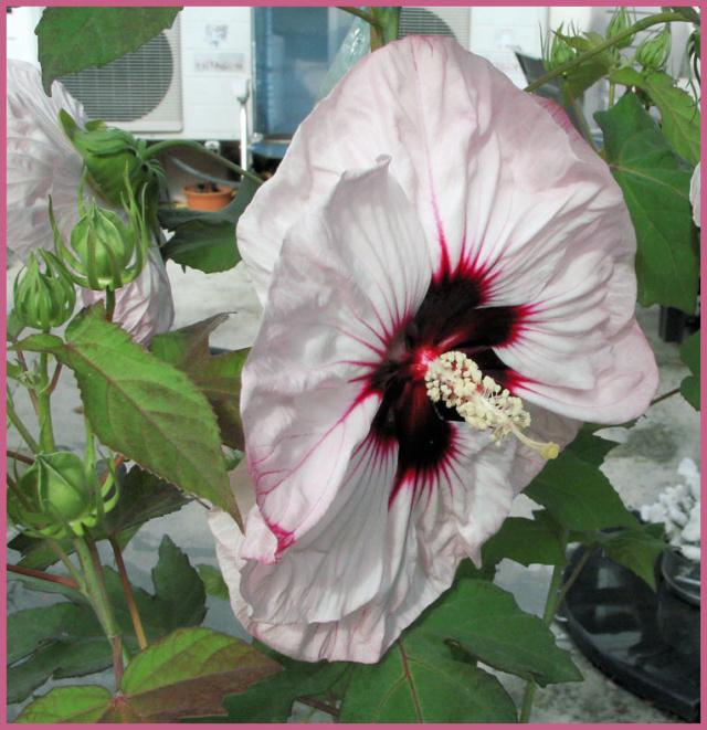 Hibiscus des Marais ou Moscheutos *** - Page 2 010