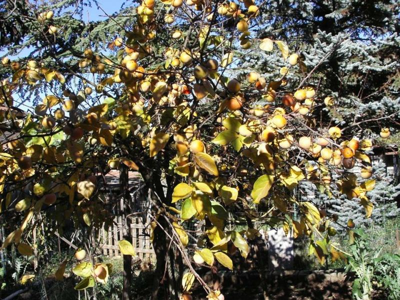 Kaki Pomme de Vannades 11227510