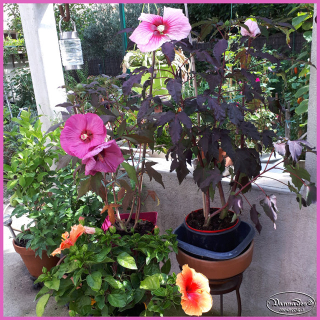Hibiscus des Marais ou Moscheutos *** 20180910