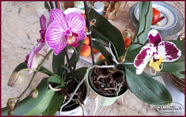 Orchidées mes Amours ♥♥♥ 20190119