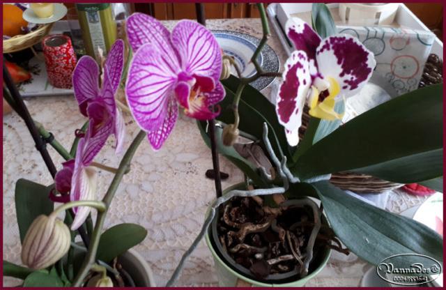Orchidées mes Amours ♥♥♥ 20190121