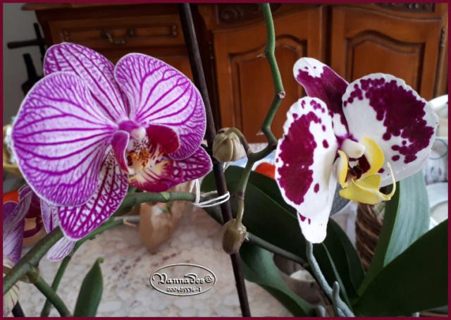Orchidées mes Amours ♥♥♥ 20190122