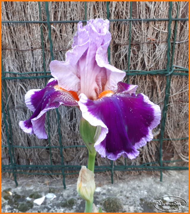 Mes fleurs de mon petit Jardin  20190514