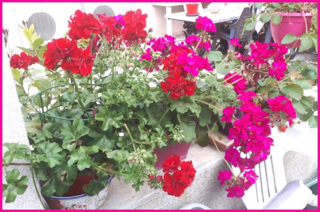 Mes fleurs de mon petit Jardin  20190517
