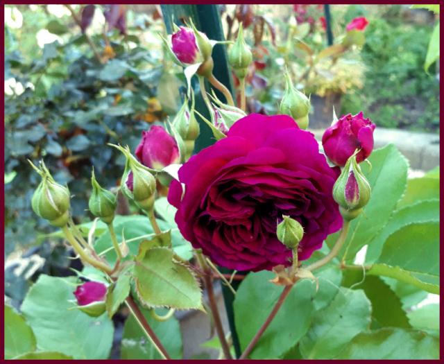 Mes fleurs de mon petit Jardin  - Page 2 20190527