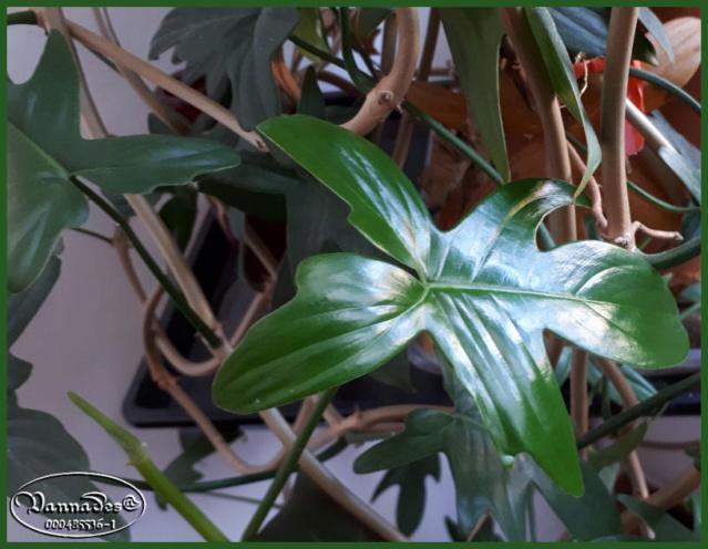 Plantes d'intérieur de Vannades *** 20190539