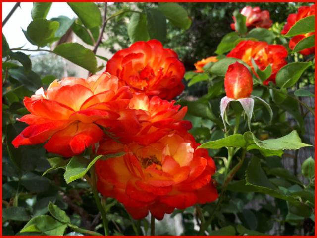 Mes fleurs de mon petit Jardin  - Page 6 20190663