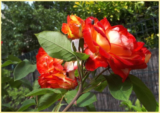 Mes fleurs de mon petit Jardin  - Page 6 20190664