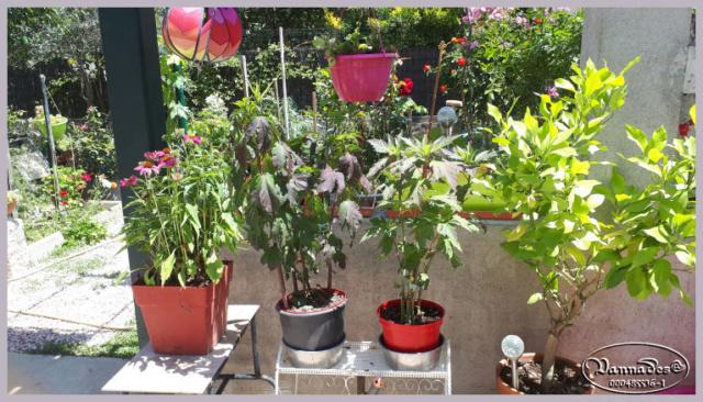 Hibiscus des Marais ou Moscheutos *** 20190670