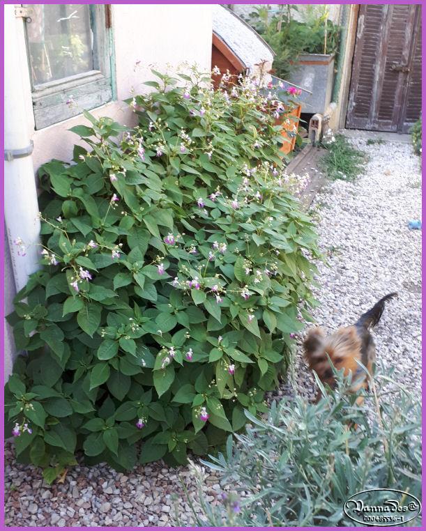 Mes fleurs de mon petit Jardin  - Page 10 20190723