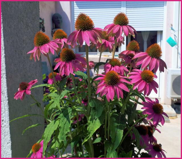 Mes fleurs de mon petit Jardin  - Page 10 20190738