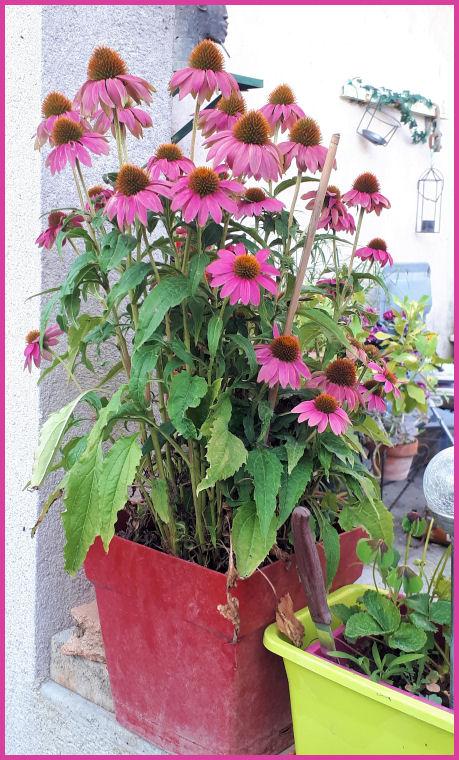 Mes fleurs de mon petit Jardin  - Page 10 20190746