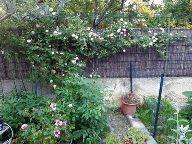 Un rosier que j'adore  20200422