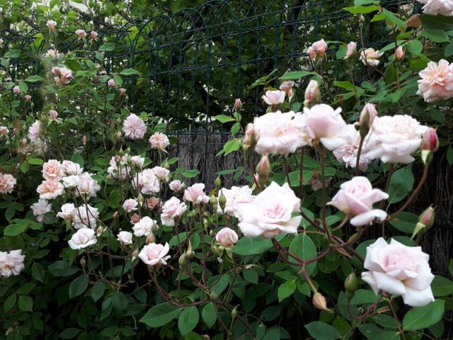 Un rosier que j'adore  20200425