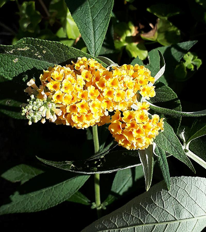 plante a identifier 746..... Résolu    Buddleia x weyeriana ! 20200621