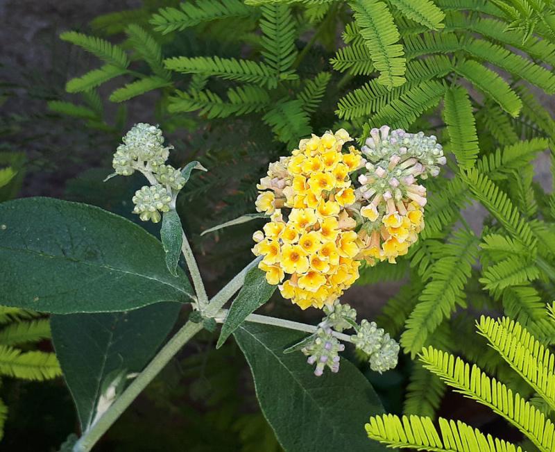 plante a identifier 746..... Résolu    Buddleia x weyeriana ! 20200623