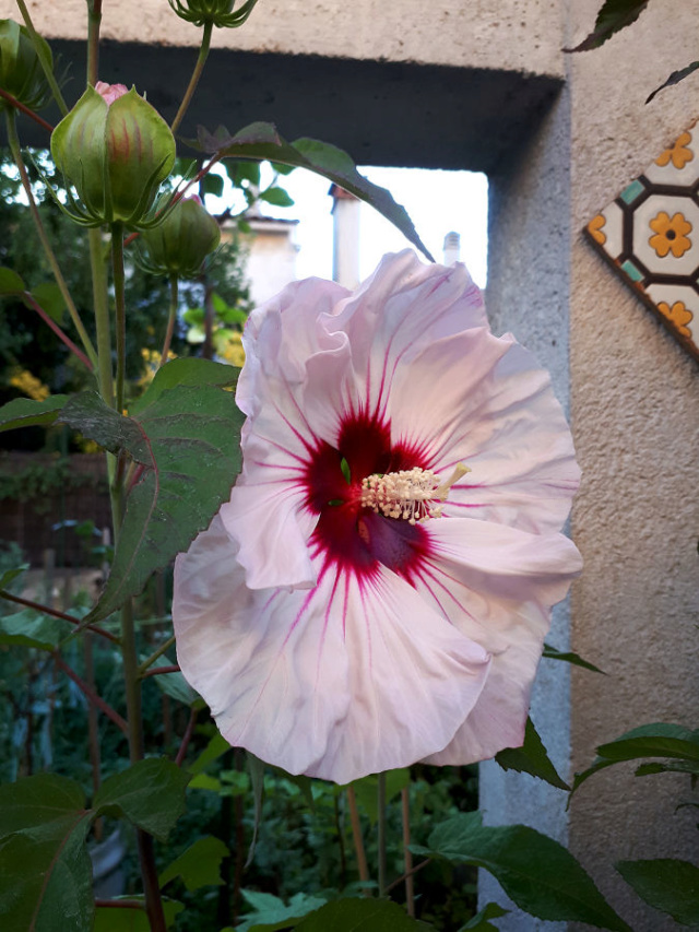 Hibiscus des Marais ou Moscheutos *** - Page 2 20200717