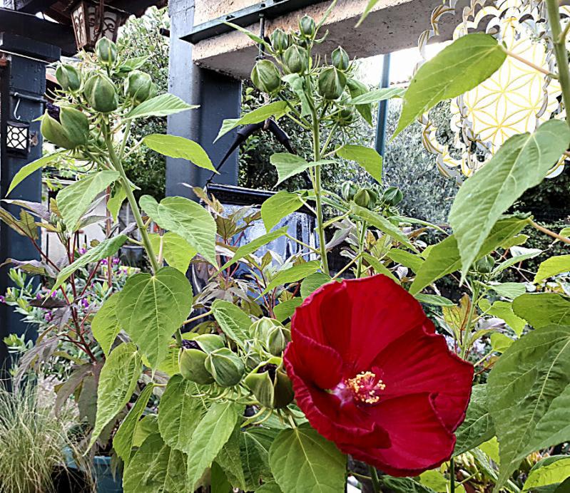 Hibiscus des Marais ou Moscheutos *** - Page 3 20200724