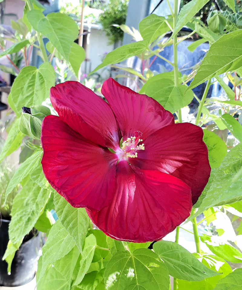 Hibiscus des Marais ou Moscheutos *** - Page 3 20200725