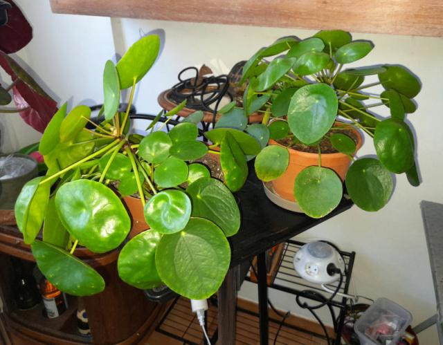 Ma Salle de séjour transformée pour les plantes en Vérandas pff !!! 20201118