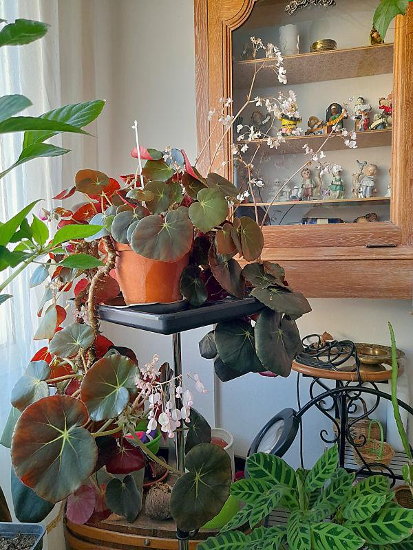 Ma Salle de séjour transformée pour les plantes en Vérandas pff !!! - Page 2 229