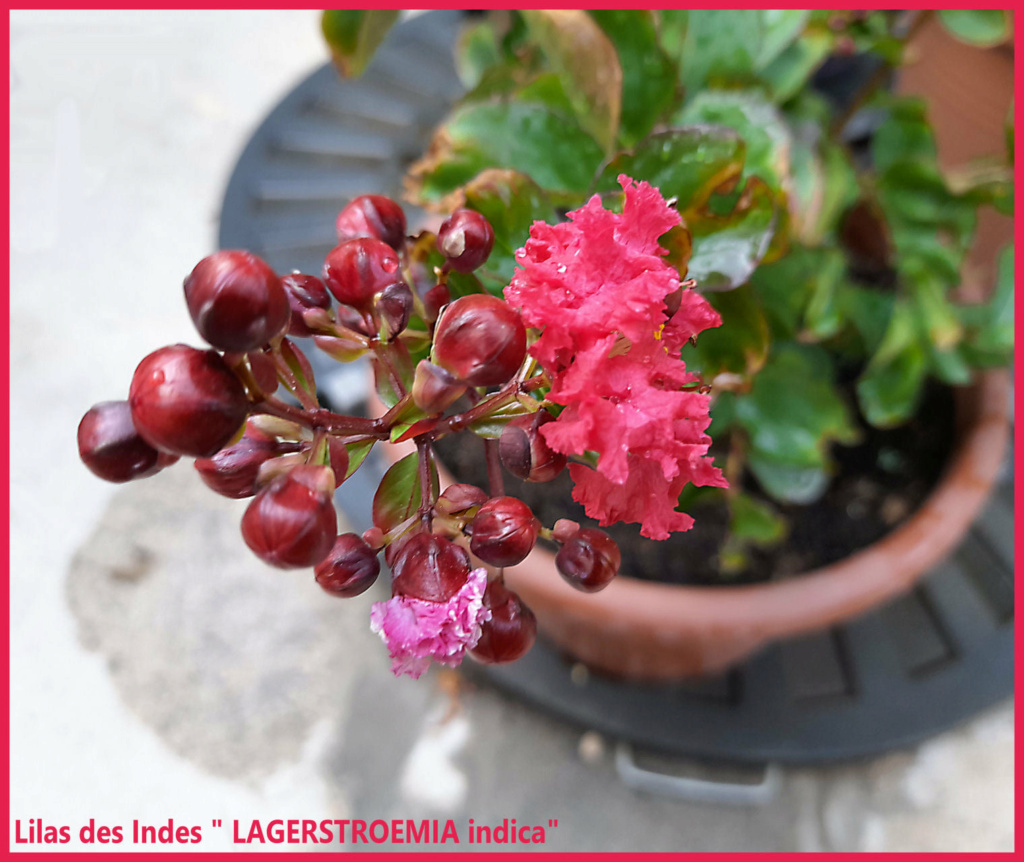 """Lilas des Indes """"LAGERSTROEMIA"""" 23973610"""