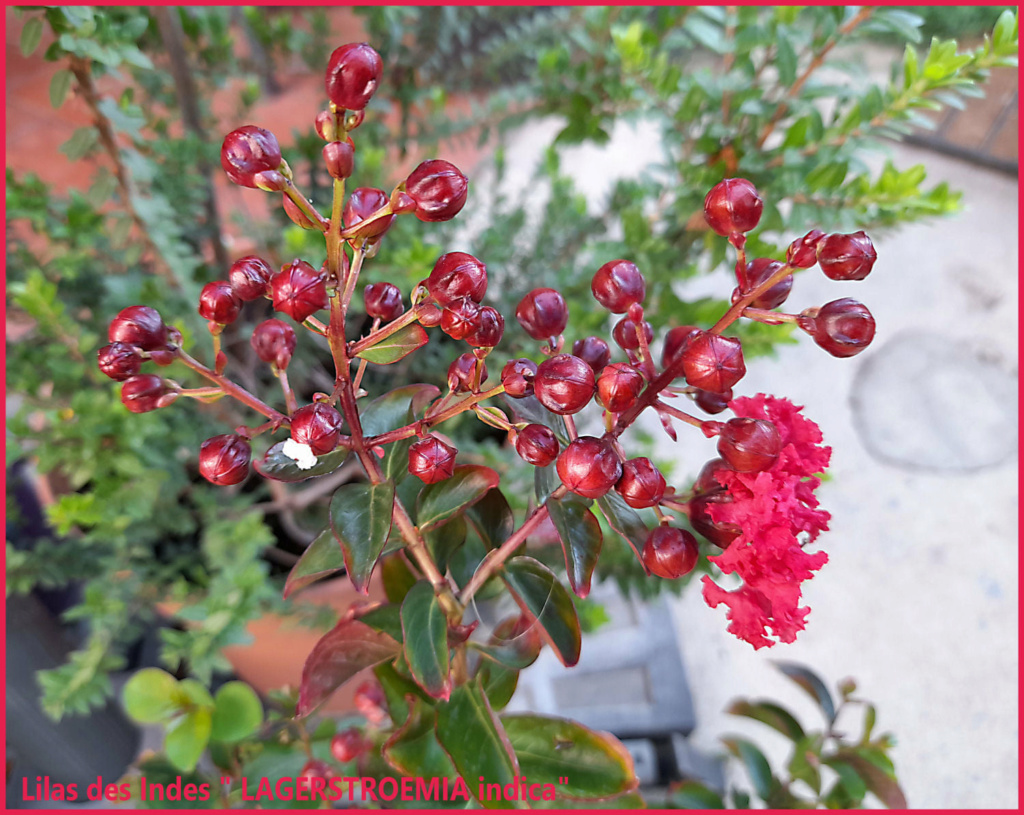 """Lilas des Indes """"LAGERSTROEMIA"""" 23986310"""