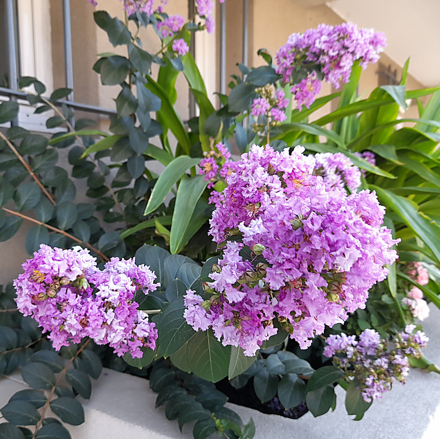 """Lilas des Indes """"LAGERSTROEMIA"""" 2_310"""