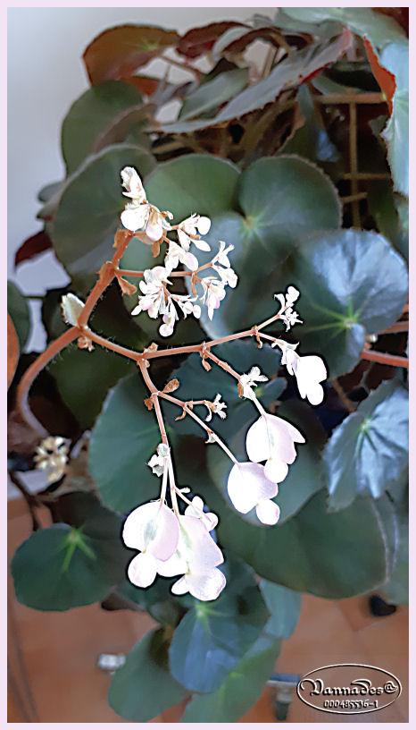 Bégonia Nénuphar ***  Begonia 'Erythrophylla' 314