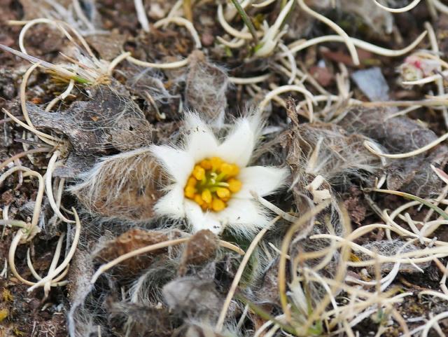 Fleur du Pérou 48637510
