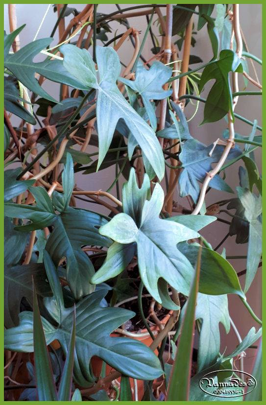 Florida Ghost Philodendron 61841610