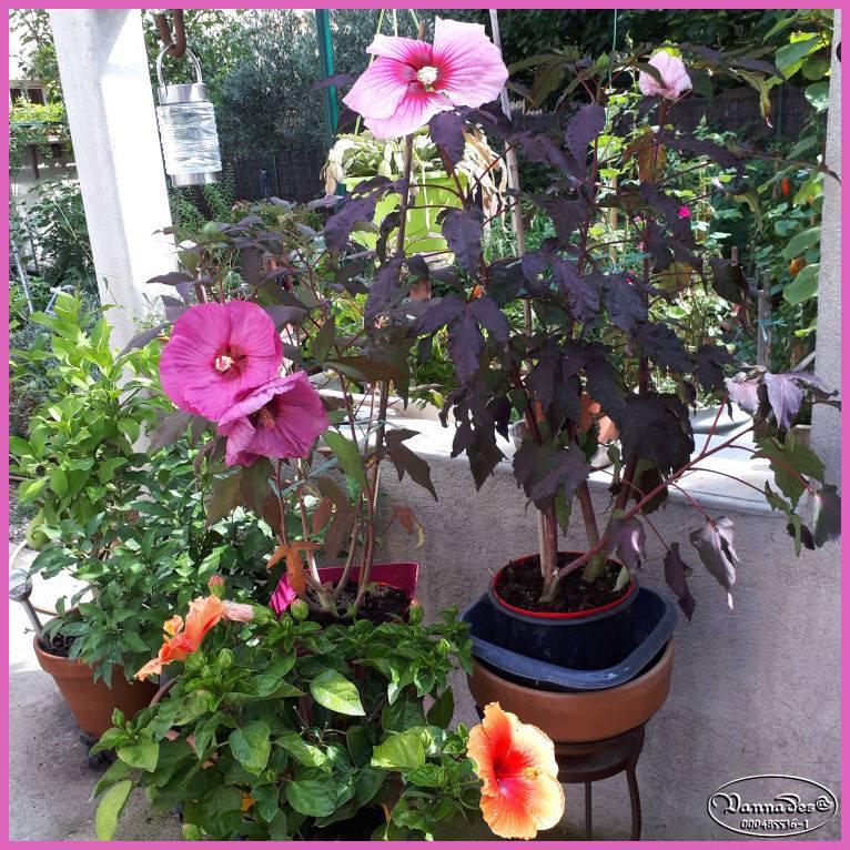 Hibiscus des Marais ou Moscheutos *** - Page 3 64273010
