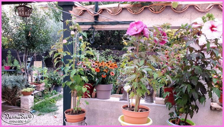 Hibiscus des Marais ou Moscheutos *** - Page 3 67191810