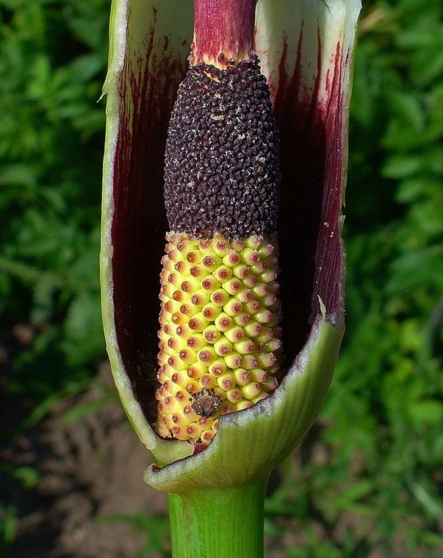 Un Arum Dracunculus vulgaris 800px-10