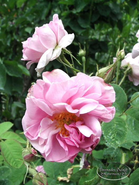 """la rose """"Kazanlik 97590210"""