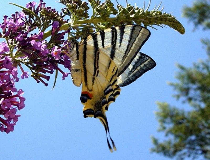 Arbre à papillons Arbre_10